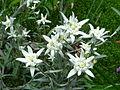 Leontopodium alpinum RHu.JPG
