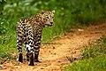 Leopard (2).jpg