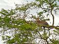 Leopard (Panthera pardus) (18200301461).jpg