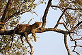 Leopard on tree.JPG