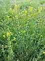 Lepidium perfoliatum sl1.jpg