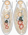 Lepotrema (Lepocreadiidae, Digenea) 11230 2018 9821 Fig08--09.png