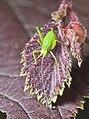 Leptophyes punctatissima larva-pjt.jpg