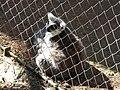 Les lémuriens (2364120750).jpg
