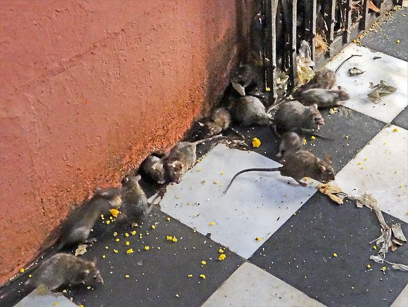 File:Les rats du temple de Karni Mata (Deshnoke) (8423355595).jpg