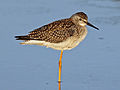 Lesser Yellowlegs RWD3.jpg