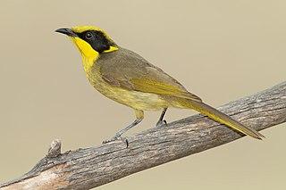 Yellow-tufted honeyeater species of bird