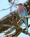 Lilac-breasted Roller (Coracias caudatus) (39806878563).jpg