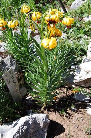Lilium bosniacum - Image: Lilium bosniacum