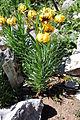 Lilium bosniacum.JPG
