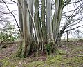 Lime coppicing, Catrine.JPG
