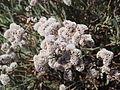 Limonium pectinatum 04.JPG