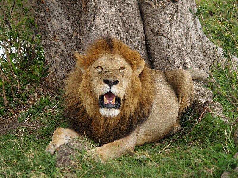 le lion et l 39 homme un combat in gal notre amie la terre. Black Bedroom Furniture Sets. Home Design Ideas