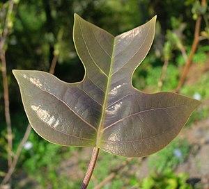 Liriodendron chinense - Image: Liriodendron chinense 01