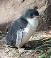 LittlePenguin EudyptulaMinor2.jpg
