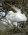 Little Egret (Egretta garzetta) - Flickr - berniedup (1).jpg