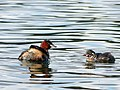 Little Grebe (8012806141).jpg