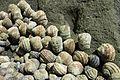 Littorina brevicula Aomori Japan 2016a 05.jpg