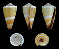 Lividoconus lividus 01.JPG