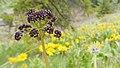 Lomatium dissectum var. dissectum flowering 5.jpg