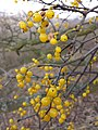 Loranthus europaeus sl4.jpg