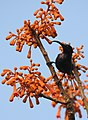 Loten's Sunbird Cinnyris lotenius Male DSCN0107 (10).jpg
