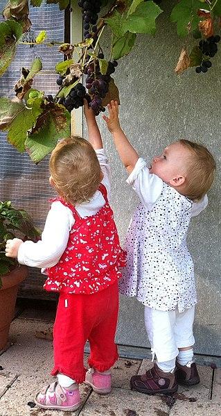 File:Low hanging fruit (grapes).jpg