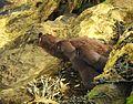 Lutra lutra Eurasischer Fischotter 05.jpg