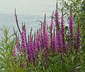 Lythrum salicaria Rhine.jpg