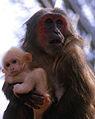 Macaca arctoides mère et bébé.jpg