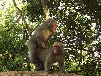 Japanese macaque - Macaques mating