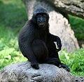 Macaca nigra juvenile (Buffalo Zoo).jpg