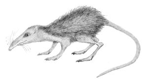 Macrocranion - Restoration of M. tenerum