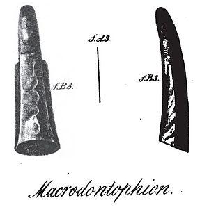 Macrodontophion - Macrodontophion holotype in two views (after Zborzewski, 1834)