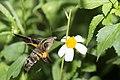 Macroglossum heliophila heliophila (37946478461).jpg