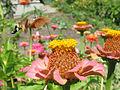 Macroglossum stellatarum.jpg