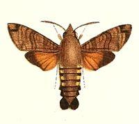 Macroglossum vacillans 1894.jpg