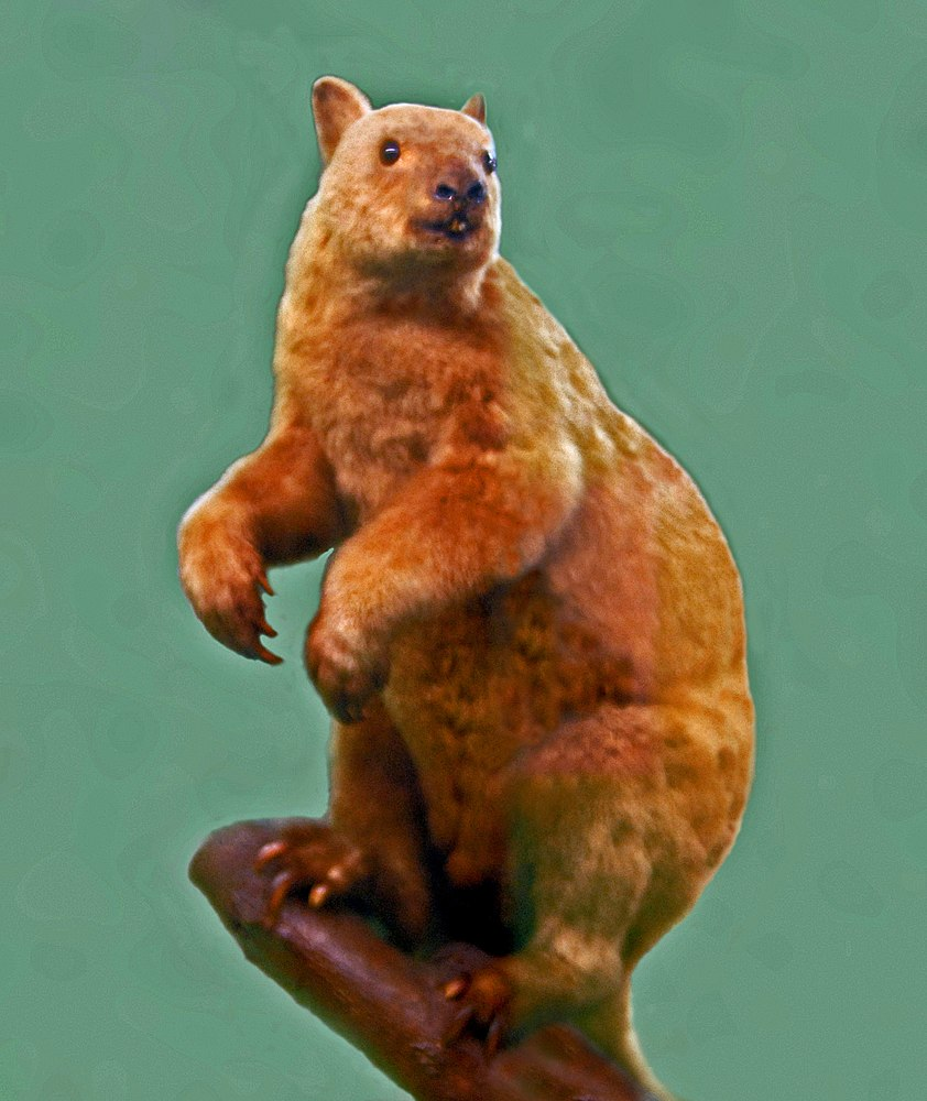 The average adult weight of a Doria's tree-kangaroo is 8.98 kg (19.8 lbs)