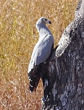 Madagascar harrier-hawk sits perched over a tree hole.