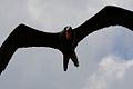 Magnificent Frigatebird (5295164869).jpg