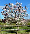 Magnolia Flowering Tree (21060812075).jpg