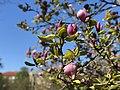 Magnolia burgeon.jpg