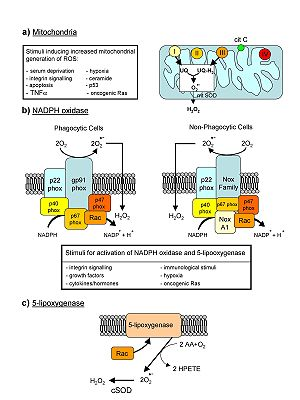 English: Major cellular sources of ROS in livi...