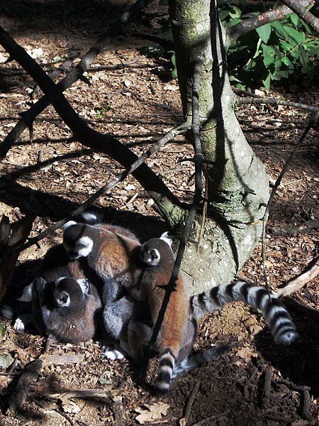 A group of Lemur Catta, in the zoo of Peaugres, Ardèche, France.