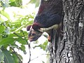 Malabar giant squirrel1.jpg