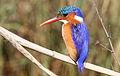 Malachite Kingfisher, Alcedo cristata at Marievale Nature Reserve, Gauteng, South Africa (21370572231).jpg