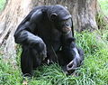 Male chimpanzee (3307693867).jpg