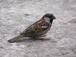 Male passer domesticus in Donetsk.jpg