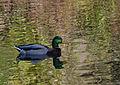 Mallard-Duck.jpg