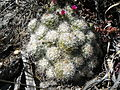 Mammillaria sphacelata (5736139799).jpg